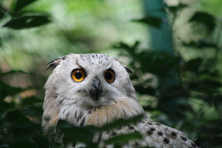 Snow Patrol Animal Themes Animal One Animal Vertebrate Animal Wildlife Animals In The Wild Bird Bird Of Prey Owl Day Portrait Looking At Camera Focus On Foreground No People Nature Close-up Outdoors Looking Plant Tree Yellow Eyes Animal Head  Animal Eye Whisker