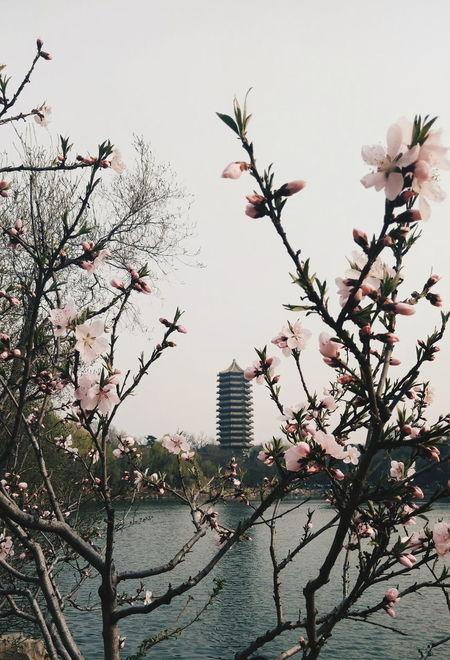 博雅塔 Day Beauty In Nature Sky Cherry Tree Building Exterior Freshness Springtime Architecture