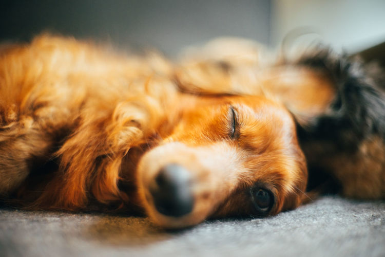 Pets Domestic Domestic Animals Mammal One Animal Canine Dog Animal Themes Animal Vertebrate Relaxation Selective Focus Lying Down Indoors  Resting Sleeping Close-up No People Brown Home Interior Animal Head  Napping Snout Dachshund Sleeping Dog Pet Portraits Pet Photography  Cute Dog  Cute Pets
