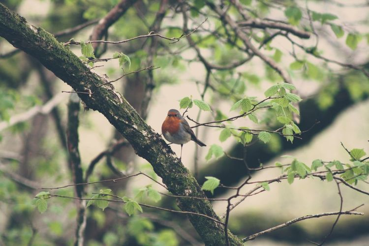Robin At Keswick, England. Nature Branch One Animal Outdoors Tree Robin Robin Redbreast Keswick Lake Lake District England Derwentwater First Eyeem Photo