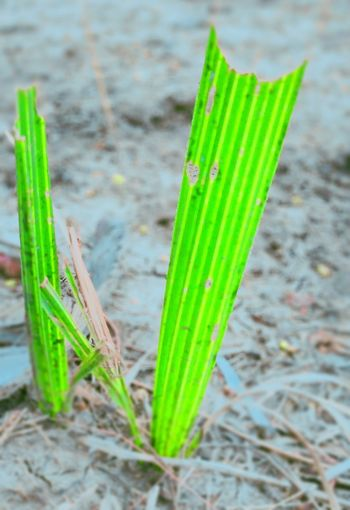 High angle view of bamboo plant on field