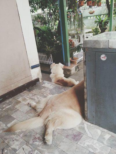 Bigass. ตูดดดด Dog Pet13 Pet Goldenretriever