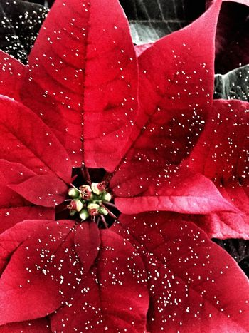 Poinsettia red Flower Fragility Nature Beauty In Nature Red Petal Drop Flower Head Close-up Water Freshness Wet No People Outdoors Day Maroon Poinsettia Red Christmastime Plant Plants And Flowers Holidays Xmas Bright Vibrant Color
