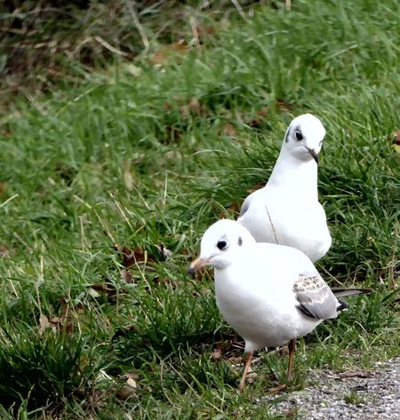 https://youtu.be/HyTpu6BmE88 For My Friends 😍😘🎁 Enjoying The Moment Beauty In November Animal Wildlife Animals In The Wild Close-up Beauty In Nature Celebrate The Little Things Enjoying Life Buddys On Tour Mittellandkanal Hannover Seagulls In The Grass