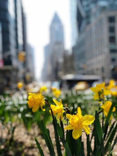 Spring in NYC NYC Flower Flowering Plant Yellow Freshness Plant Architecture Building Exterior Growth Beauty In Nature Built Structure Close-up Focus On Foreground Petal Fragility Flower Head Building Vulnerability  City Day Nature