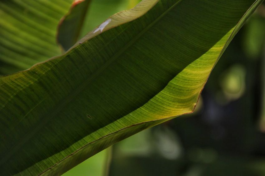 Leaf Close-up Nature Green Color Growth Banana Leaf Banana Tree No People Outdoors Beauty In Nature Day Insect Tree Freshness ArtWork Art Nature_perfection Nature Photography Nature_collection Life Is A Beach Love Green Plants And Flowers Photography Plant