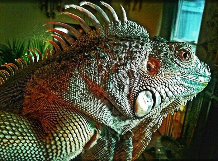 It's their bright-eyed innocence that can capture the heart. Iguana Red Iguana Reptiles Reptile Love