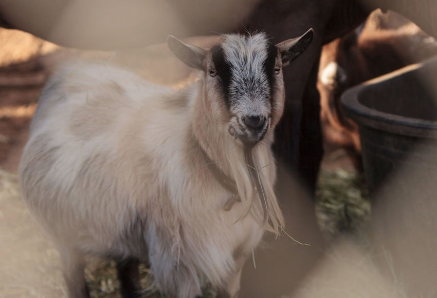 Toggenburg goat eats hay next to his horse companion at a barn on a farm. Animal Themes Animals In The Wild Barn Close-up Day Deer Domestic Animals Farm Goat Goat Indoors  Kid Goat Mammal No People One Animal Portrait Toggenburg Goat