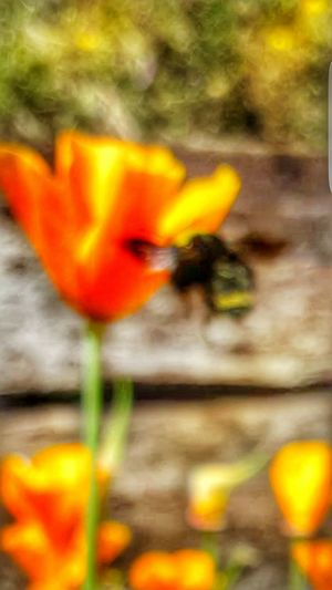 Raw Image No Edit Glitch Photo Showing Imperfection In Flight Carpenter Bee Poppies In Bloom Wildflowers Blurry Photo Blurrybeauty Out Of Focus Outdoors Bokeh