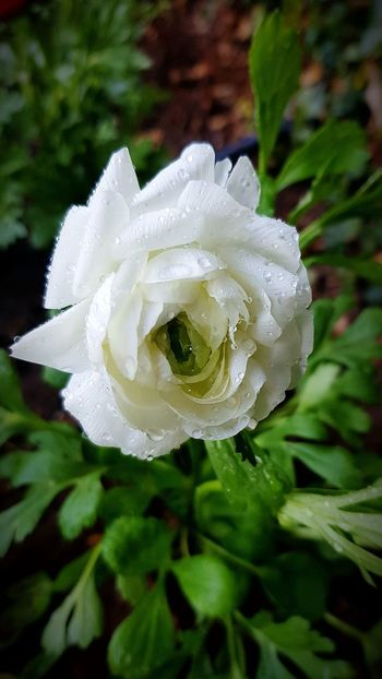 Flower Petal Nature Fragility Flower Head Beauty In Nature White Color Growth Plant Rose - Flower Close-up No People Freshness Blooming Outdoors