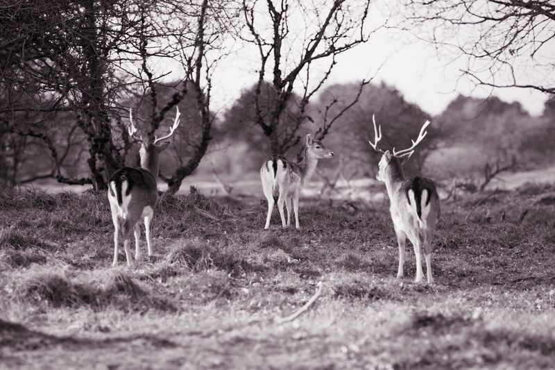 On The Lookout Monochrome Deer Animals In The Wild Animal Wildlife Nature Outdoors No People