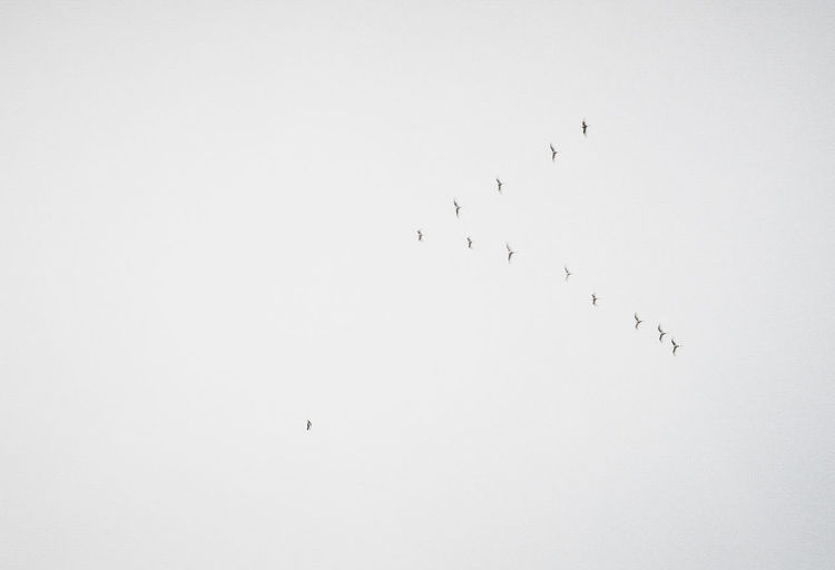 Animal Themes Animal Wildlife Animals In The Wild Beauty In Nature Bird Bnw Flock Of Birds Flying Hoang Ann Large Group Of Animals Low Angle View Migrating Nature Togetherness