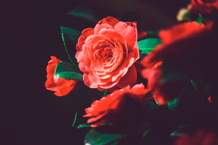 Beauty In Nature Black Background Blooming Blossom Botany Close-up Flower Flower Head Focus On Foreground Fragility Freshness Growth In Bloom Nature No People Orange Color Petal Pink Color Plant Red Rosé Rose - Flower Selective Focus Softness