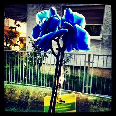 Blaue Orchidee♥♥