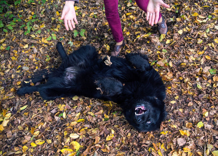 Newfoundland is playing in the forest with his master Mammal Pets Domestic Domestic Animals One Animal Vertebrate Human Body Part Low Section High Angle View Nature Day Canine Dog Plant Part Human Leg People Land Body Part Outdoors Leaves Pet Owner Human Foot Newfoundland Dog