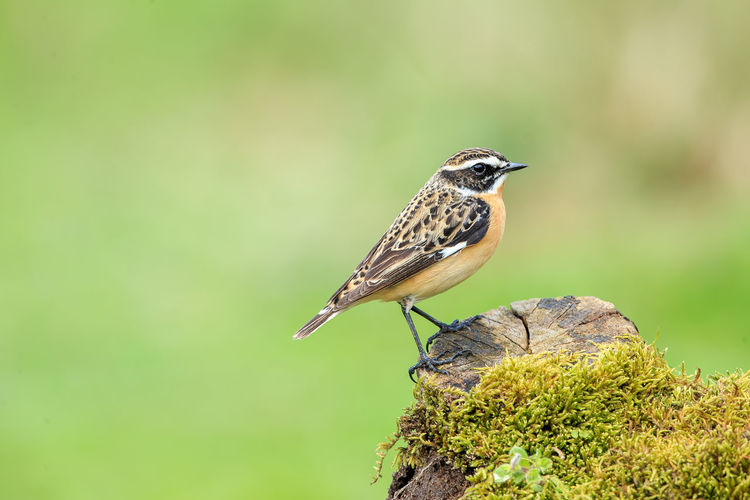 The whinchat is a small migratory passerine bird breeding in Europe and western Asia and wintering in central Africa. At one time considered to be in the thrush family, Turdidae, it is now placed in the Old World flycatcher family, Muscicapidae. Animal Wildlife Animal Themes Animals In The Wild Animal One Animal Bird Vertebrate Perching Focus On Foreground Close-up Plant Day Nature No People Beauty In Nature Outdoors Green Color Tree Whinchat Male Saxicola Rubetra Perched Dead Wood Moss Europe