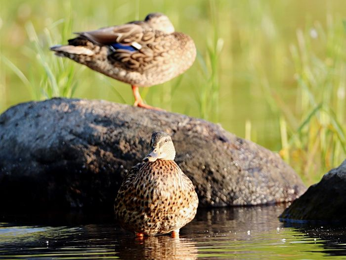 Water Bird Bird Animals In The Wild Animal Themes Animal Wildlife Water Perching Focus On Foreground Nature Lake Day One Animal No People Beak Outdoors Beauty In Nature Full Length Close-up