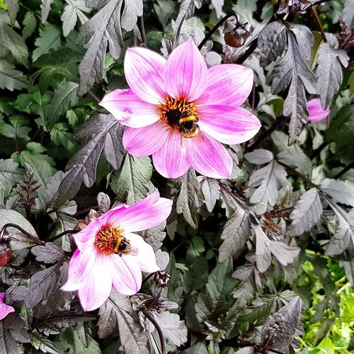 Walking Around Garden Flowers Flowers_collection Flowers Pink Flowers Bees Bees And Flowers Beesonflowers Flower Head Flower Petal Pink Color High Angle View Pollen Blooming Close-up In Bloom