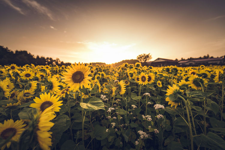 Sunflowers blooming in field against sky during sunset