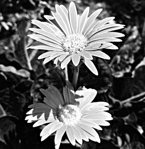 African daisy Flower Garden Flowers African Daisy