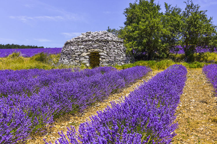 Blooming lavender field with old stone hut Plant Flower Lavender Land Nature Purple Tranquility Beauty In Nature Landscape Field Fields Flowering Blossom Blooming Rows Borie Stone Hut Picturesque Scenic Landscapes Provence France