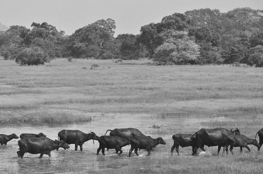 Bnw_friday_eyeemchallenge Field Getting Away From It All Grass Grassy Landscape Nature Rural Scene Sri Lanka Tranquil Scene Tranquility Traveling Traveling In Sri Lanka Water Buffalo