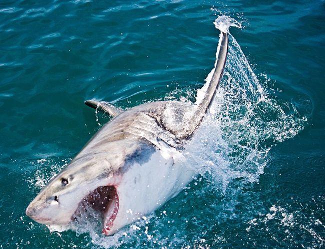 The grait White jumping out the water:5 meters of power. White Whiteshark Shark Ocean South Africa Hermanus Hunting Jump