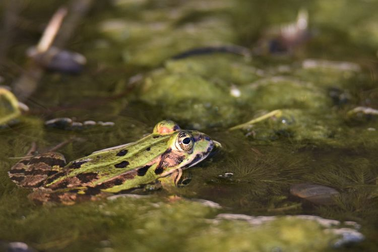 Close-up of frog floating on lake