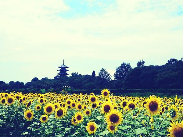 ひまわり畑🌻 お花畑 ひまわり ひまわり畑 Sunflower Japan Myfavoriteflower No.1 Flowers