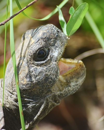 Animal Wildlife Portrait Confined Space No People Close-up Animal Head  Tortoise Shell Capture The Moment Animals In The Wild Beauty In Nature Nature Eating Animal Leaf Turtle Tortus Animal Head  Textured