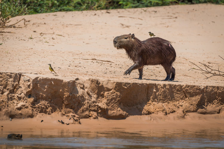 Side view of capybara walking on ground by pond
