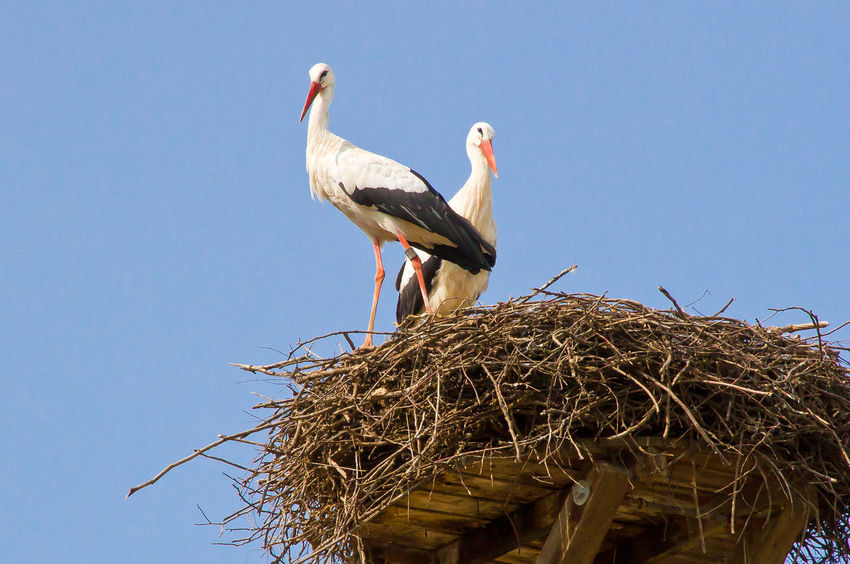 Stork couple on a nest. Salem, lake constance (Bodensee), Germany Baden-Württemberg  Couple Family Lake Constance Roof Salem Animal Themes Animals Bird Bodensee Building Conservation Ecology Environment Germany House Nature Nest No People Protect Protection Stork Storks Summer White Stork