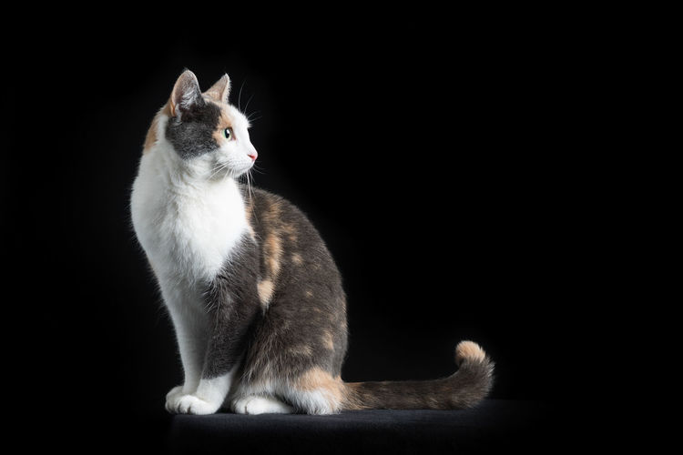 European Shorthair cat, multi-coloured, sitting in black background looking back Mammal Animal Themes Animal One Animal Pets Domestic Domestic Animals Black Background Sitting Studio Shot Cat No People Feline Indoors  Looking Vertebrate Domestic Cat Full Length Copy Space Looking Away Whisker Profile View European Shorthair Muti Colored