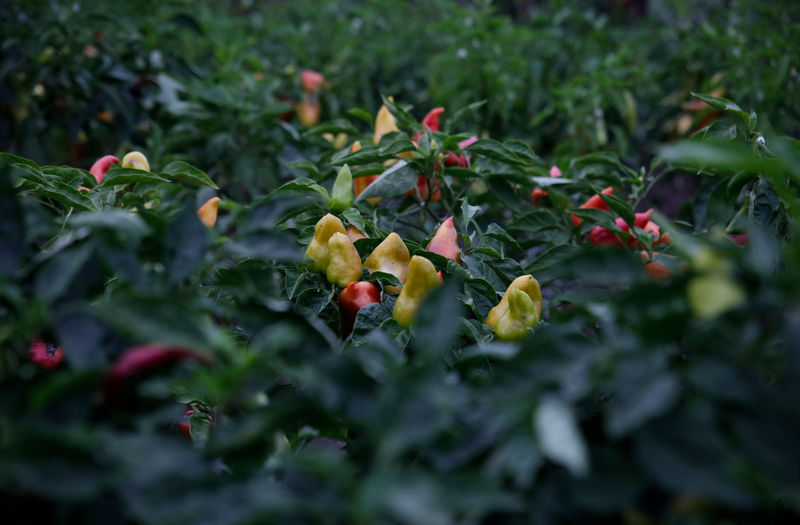 Chilies growing on plants