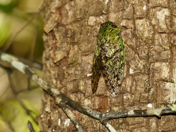 grose zikade, big cicada, everybody knows the Sound almounst nobody has ever seen her Afrikan Cicada Zikade Afrika Dschungel Loud Sound Loud Animal Beautyful  LUMIX DMC FZ1000 Unbelievable Views Animals In The Wild Sound Of Nature Insekt Insect Close-up Beautyful Nature Tree Tree Trunk Insect Branch Close-up Animal Themes Tree Stump