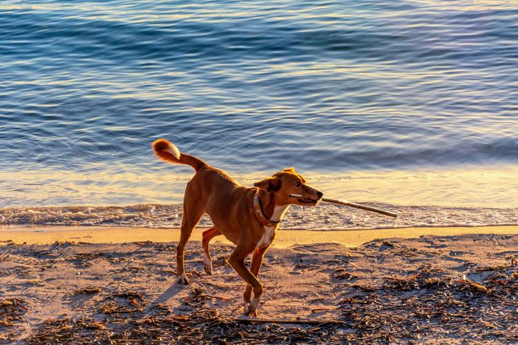 sunset at Des Trenc Beach, mallorca, spain One Animal Mammal Domestic Animals Canine Pets Domestic Dog Animal Themes Animal Vertebrate Land No People Nature Water Sunlight Day Motion Running Beach Purebred Dog Mallorca Majorca SPAIN