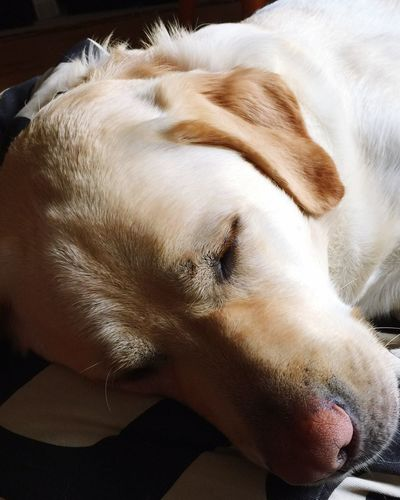 Sleeping Dog Sleeping Labrador Golden Labrador Miltonbiscuit Dogs Of EyeEm Dogslife Dogs Ilovemydog