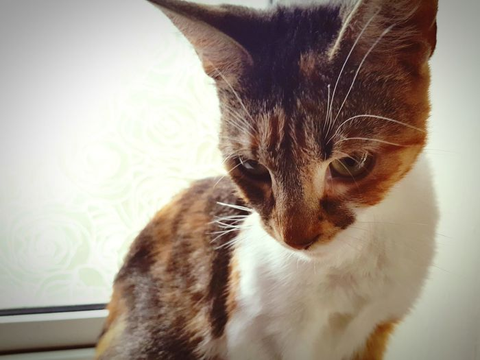 EyeEm Selects Domestic Cat Pets One Animal Domestic Animals Feline Animal Themes Indoors  Mammal Portrait No People Close-up New Mother Pet Portraits
