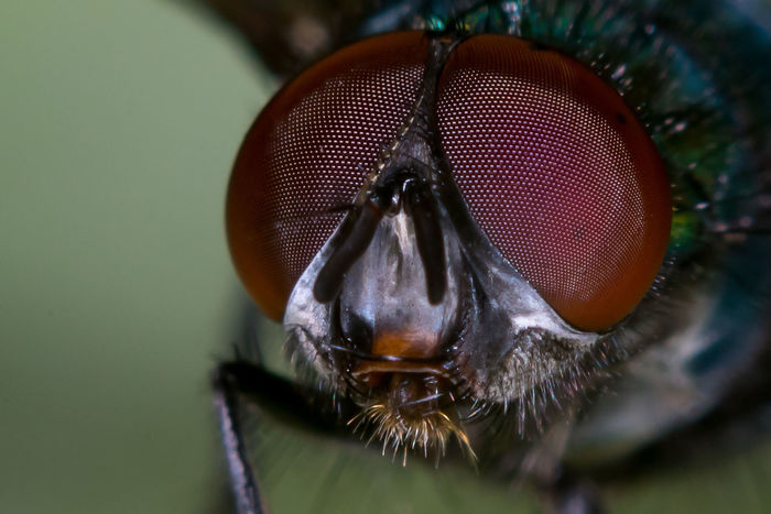 Wildlife Nature Macrophotography Closeup Bug EyeEm Selects Portrait Looking At Camera Insect Macro Animal Eye Extreme Close-up Close-up Fly HEAD