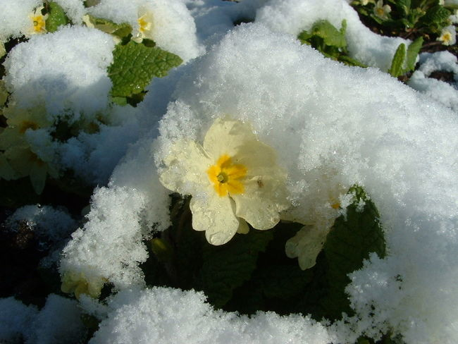 Beauty In Nature Flowers In Snow Fragility Primrose Primrose In Snow Snow Weather Winter Yellow Flower