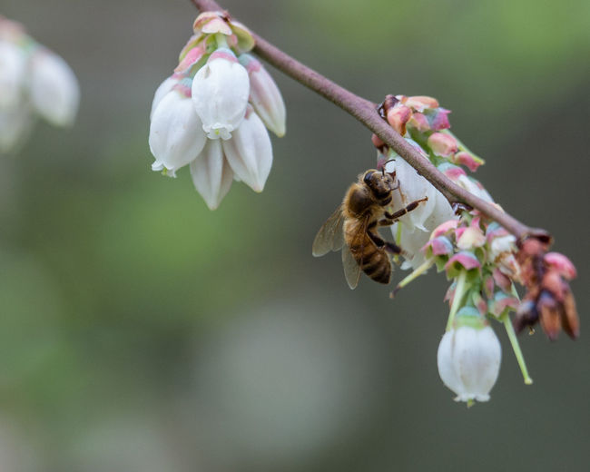 Close-up of bee pollinating on white flower