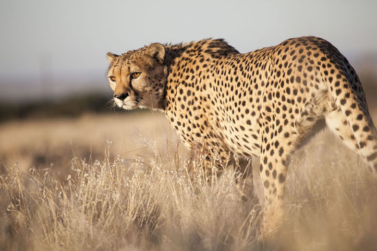 Cheetah Animal Animal Wildlife Animals In The Wild Beauty Cheetah Day Grass Leopard Mammal Nature No People One Animal Outdoors Safari Animals
