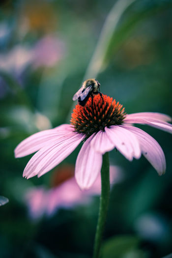 Bee pollinating on eastern purple coneflower