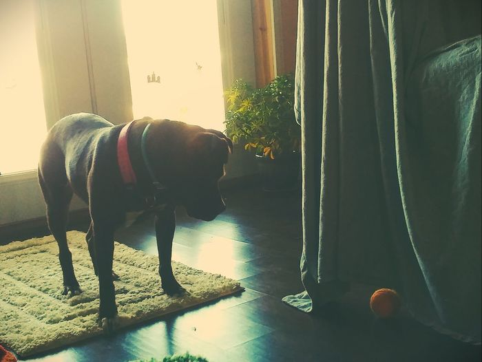 Where did my ball go?? Dog Pets Animal One Animal Domestic Animals No People Indoors  Pitbull Rescue Dog Pretty♡ Picturejunkie Check This Out