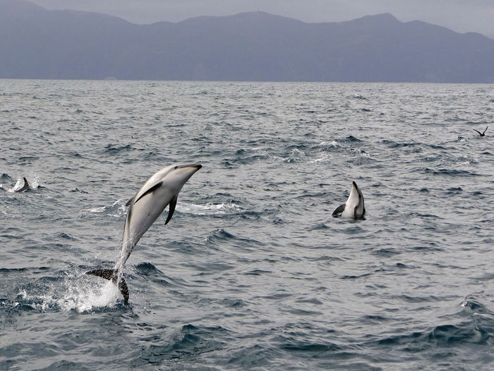 Dolphins jumping over sea against mountains