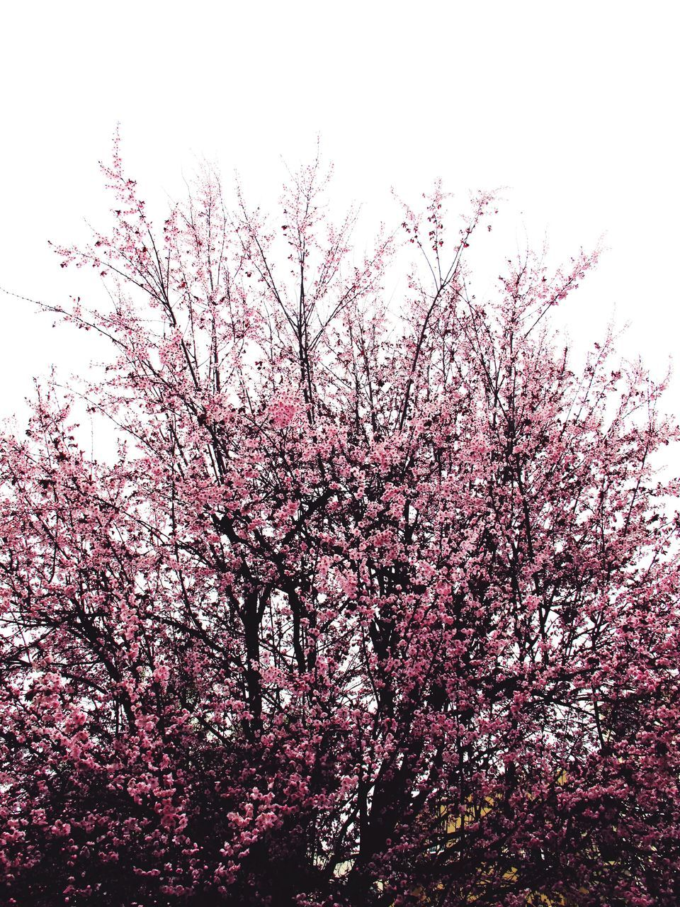flower, blossom, tree, pink color, springtime, low angle view, beauty in nature, freshness, branch, fragility, nature, growth, cherry tree, botany, no people, pink, day, outdoors, sky, plum blossom, flower head, close-up