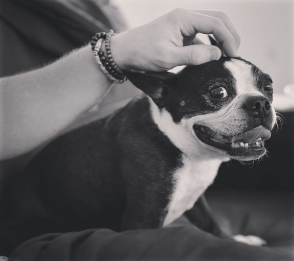 Cropped image of person touching boston terrier