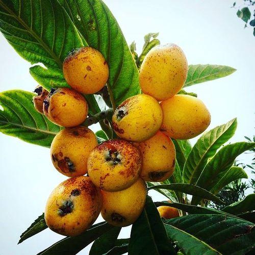 Yeni Dünya meyveler olgunlaşmış. Dogal ve Organik Tarim