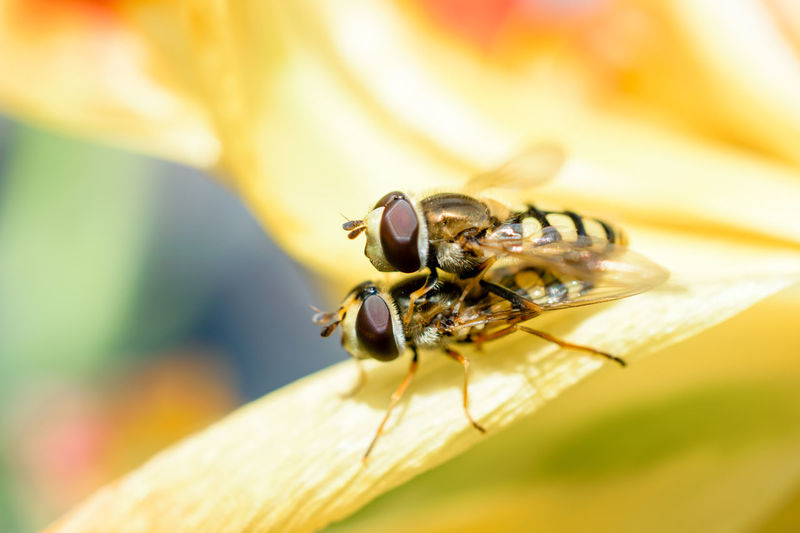 Augen Bees Close-up Copulating Fliegen Fliegenaugen Flies Flower Hoverflies Hoverfly Insect Insect Eyes Mating Mating Season Nahaufnahme Nature Photography Nature_collection Naturelovers Paarung Paarungszeit Schwebfliege The Great Outdoors - 2017 EyeEm Awards Paint The Town Yellow