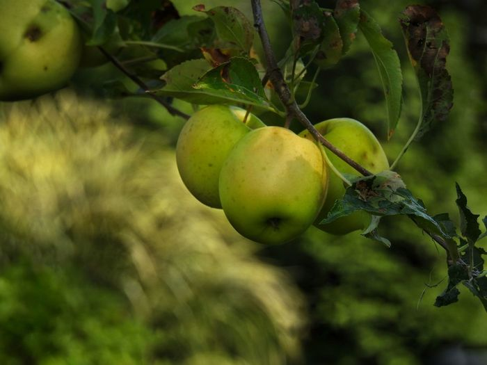 Apple Orchard Gardening Golden Apple Green Color Apple - Fruit Apple Tree Apples Apples On A Tree Apples On Tree Fruit On The Tree Fruit On Tree Fruit Photography Garden Photography Gold Colored Green Apple Growing Apples Growing Fruit Growing Your Own Food Healthy Eating Healthy Food Healthy Lifestyle
